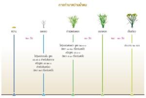 การปลูกข้าวขาวพันธุ์ดอกมะลิ นาหว่านน้ำตม