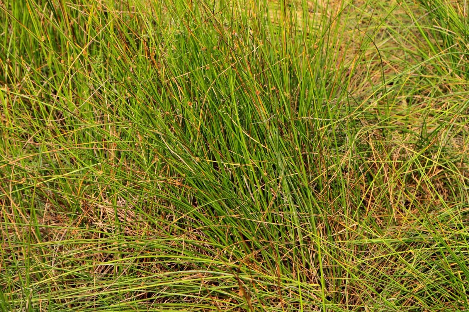 หญ้าแฝก ... หญ้าอัศจรรย์สำหรับเกษตรกร
